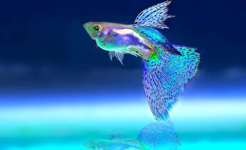 דג בתוך הקווריום לפני הובלה